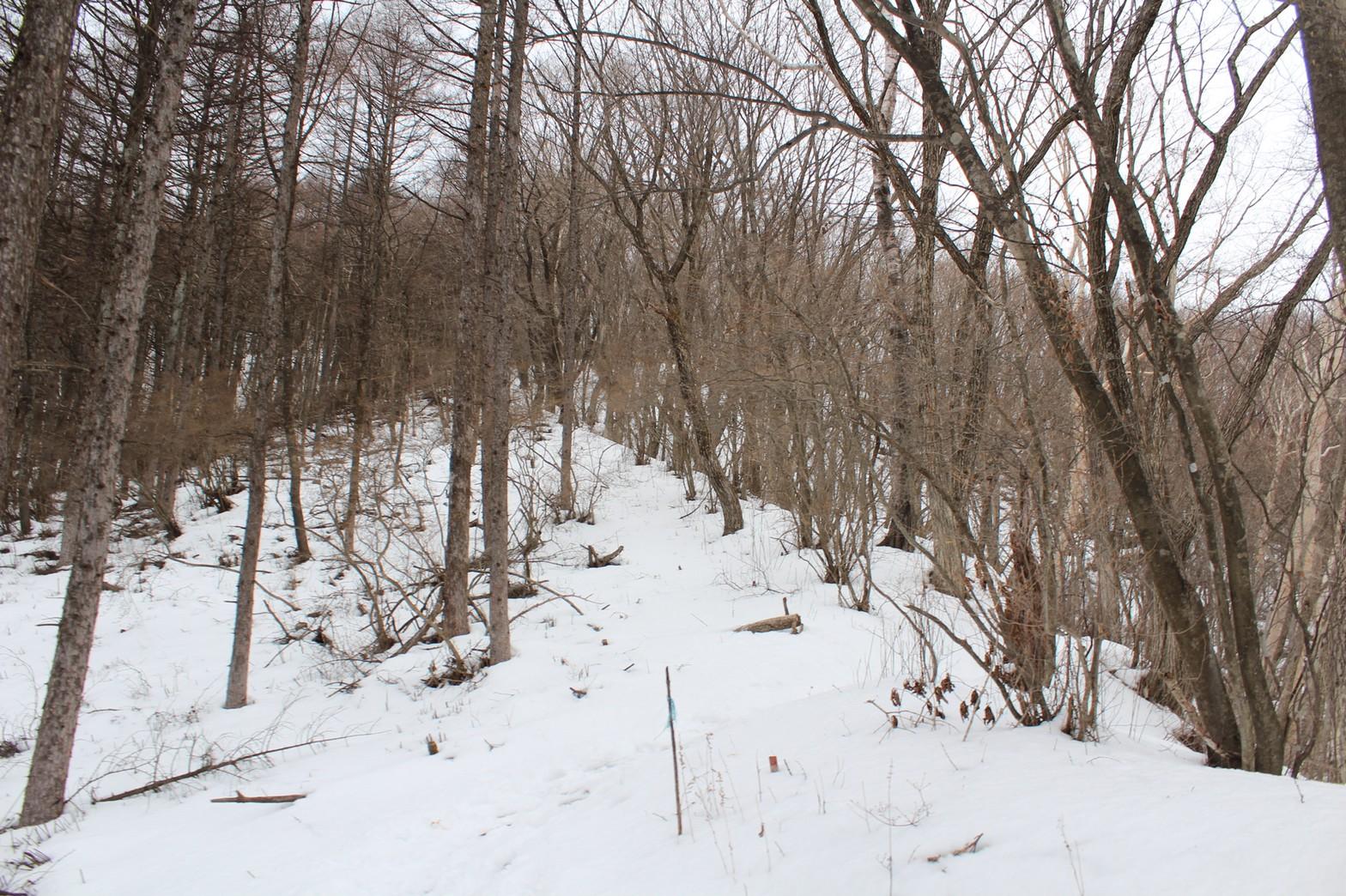 自然林の中に雪が積もっています
