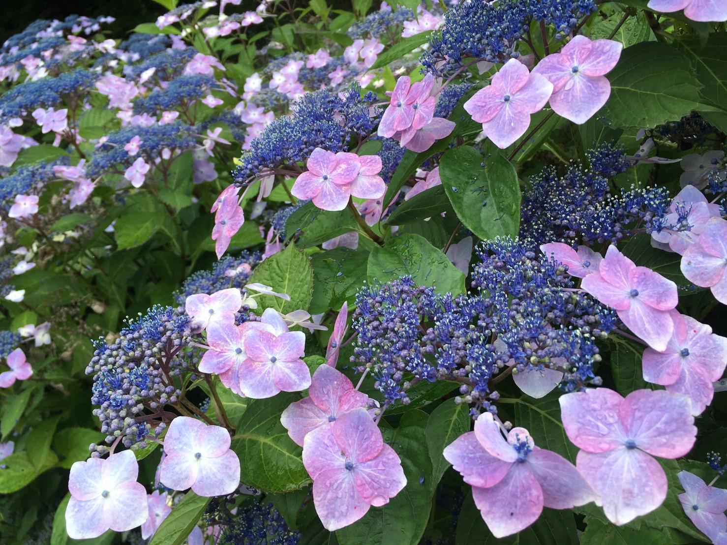 紫の額紫陽花